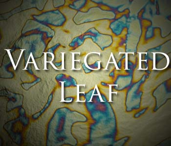 Buy Variegated Leaf